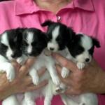 4 puppies 4 wks
