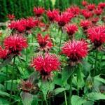 BeeBalm flower