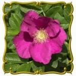 prairie-rose
