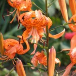 tiger lily(1)
